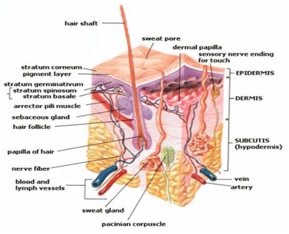 Arrector Pili Muscle Degeneration Page 2